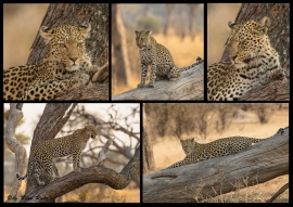Leopard-Collage