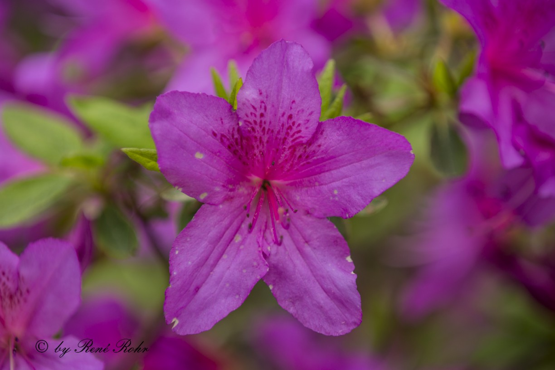 Azalee violett_2